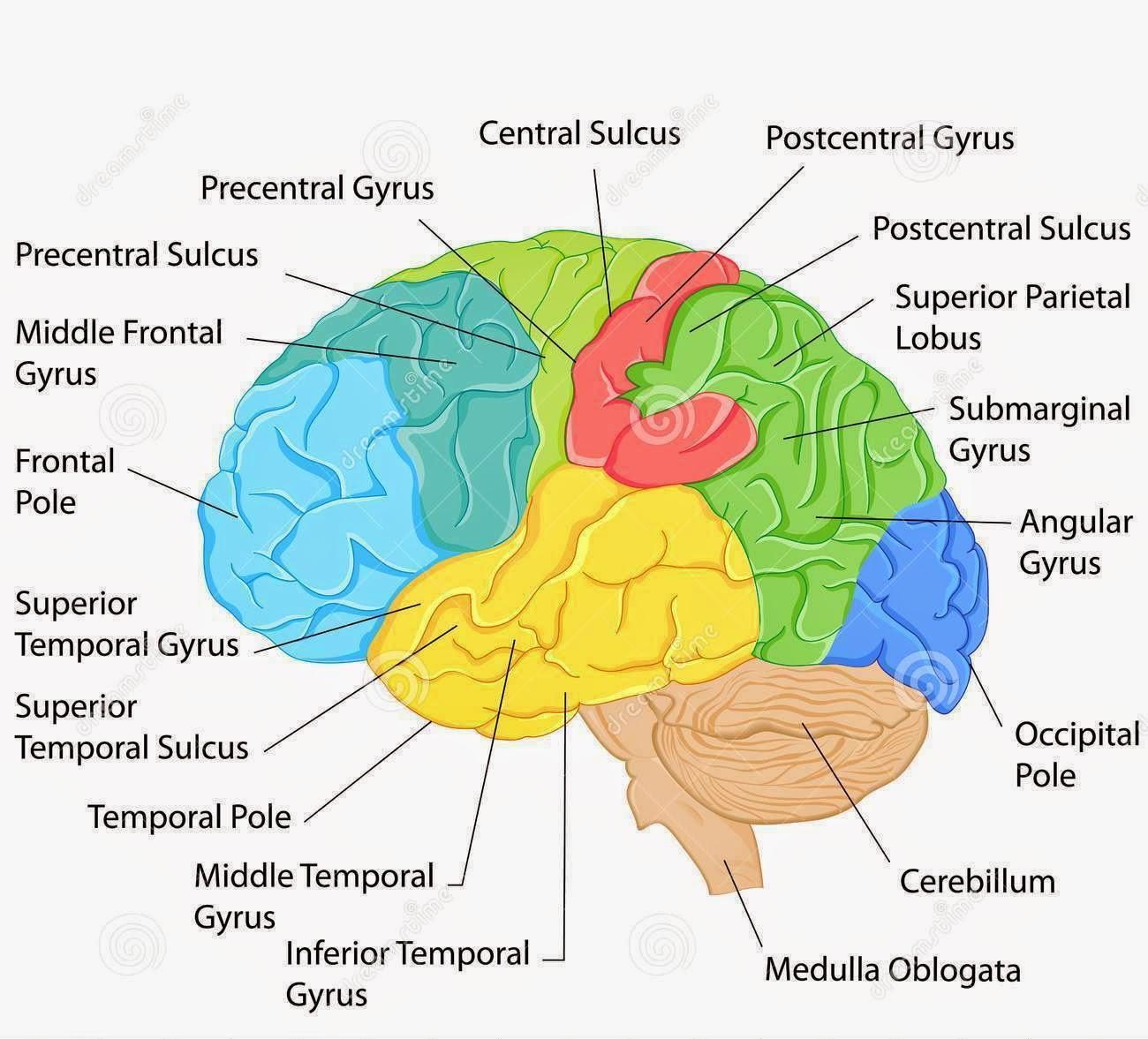 Brain labeling diagram