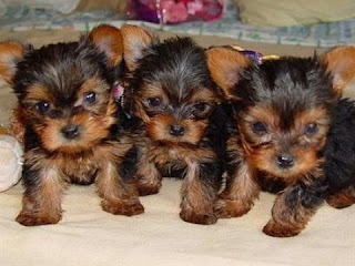 Anak Anjing Yorkshire Terriers
