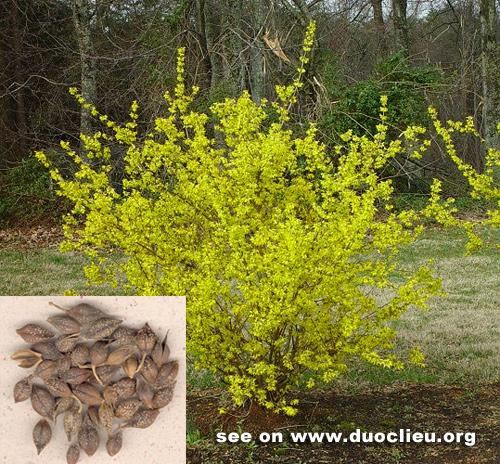 Forsythia suspensa (Thunb.) Vahl