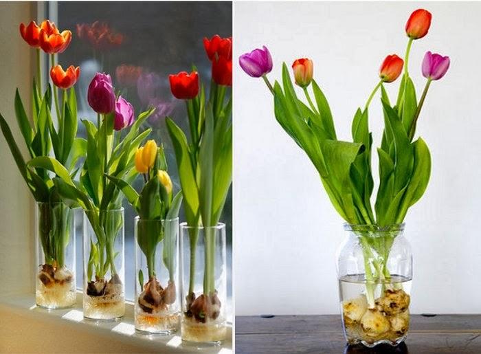Выгонка тюльпанов к 8 Марта 63