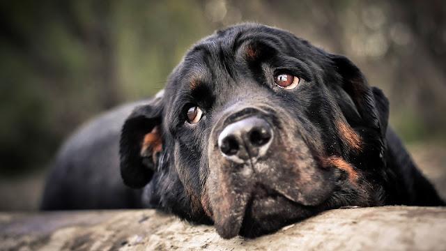 Imagenes de Perros Rottweiler Triste