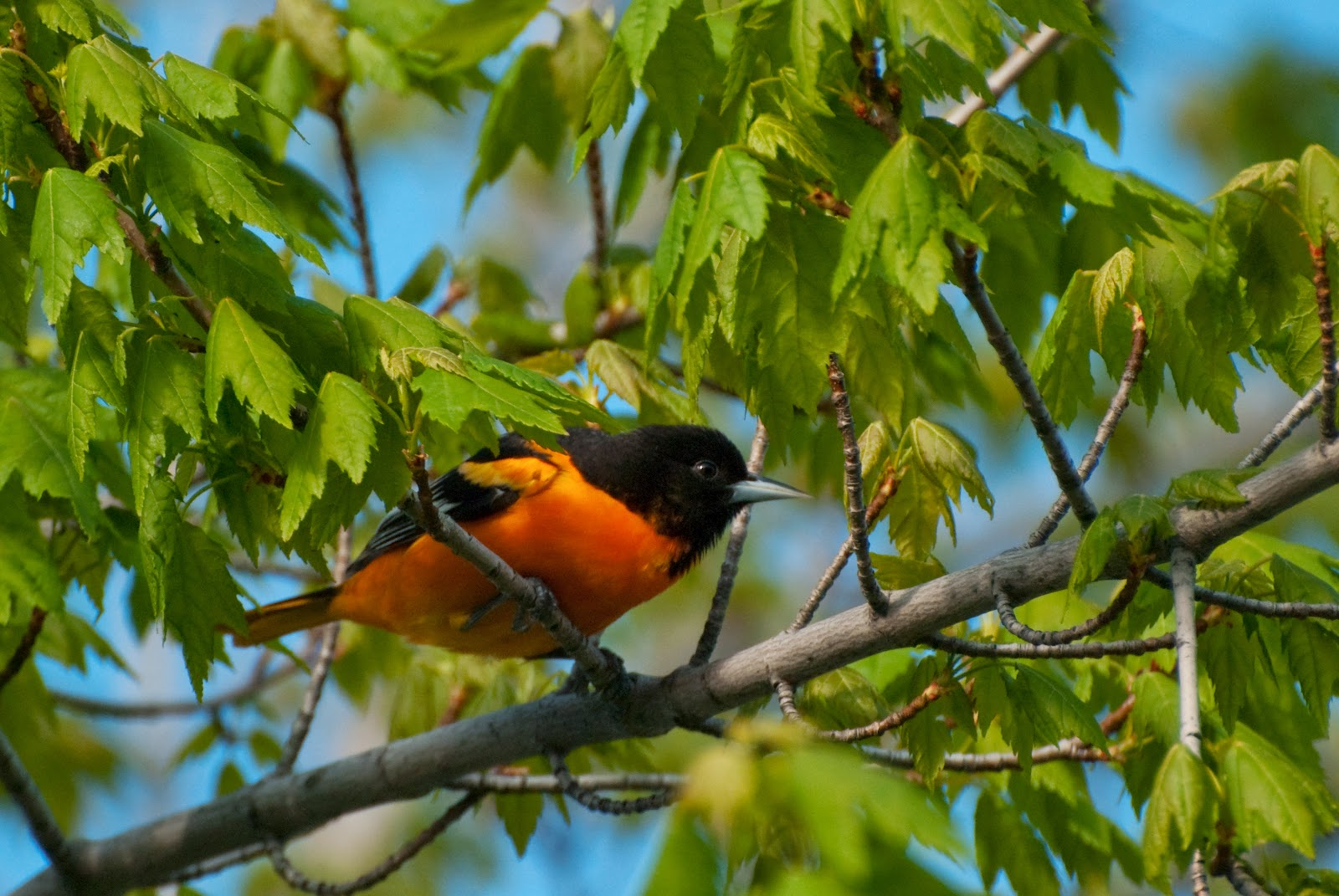 Male Black and orange Batimore Oriole sitting in Ontario tree. One more reason to plant trees in Kawartha Lakes. free image linked to wikipedia source.