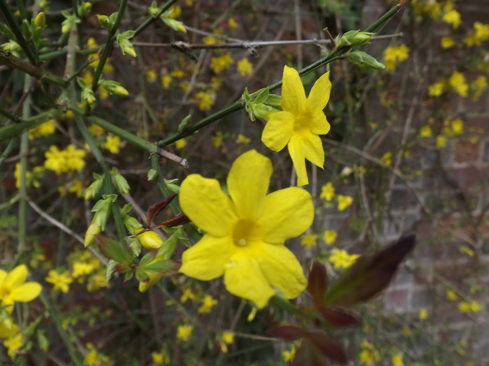 Winter Jasmine Bayleaf The Gardeners Plant Of The Week 15th