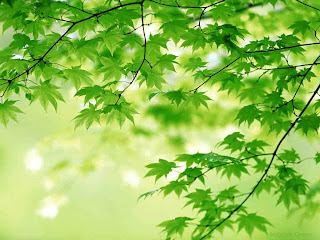 branch of maple tree with green leaves