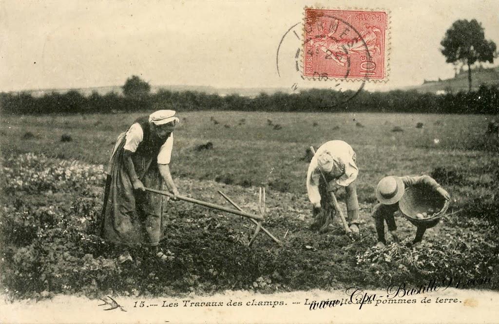 La pomme de terre en bretagne - Recolte des pommes de terre ...