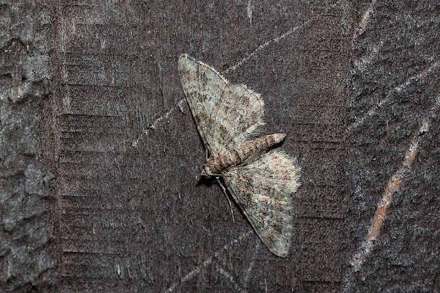 Double-striped Pug - Photographed in Milton Keynes