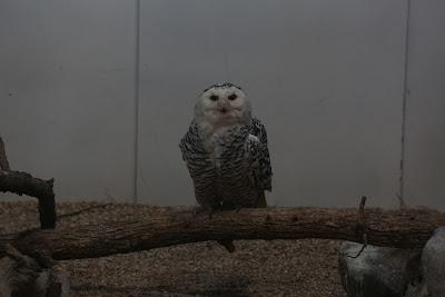 Original Snowy Owl Photo