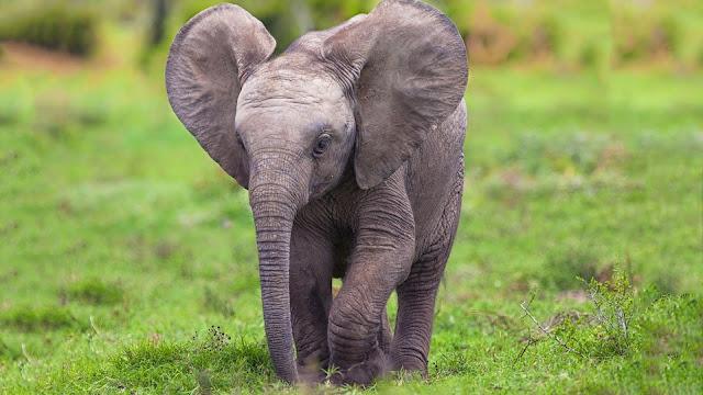 Elephant Baby HD Wallpaper