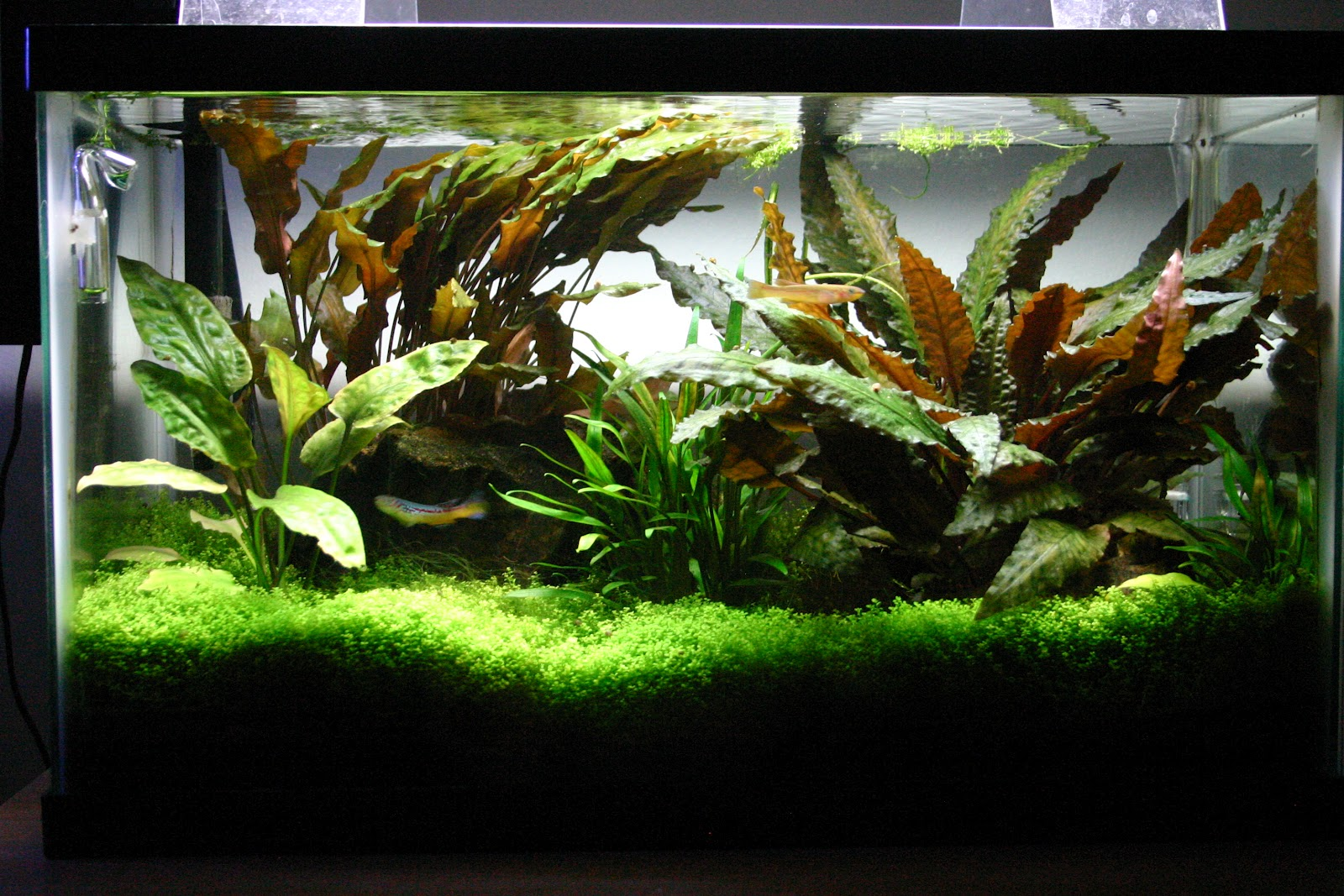 The gallery for pretty freshwater fish 10 gallon tank for Fish for a 10 gallon tank