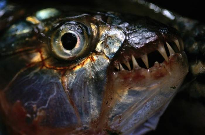 Widely distributed across much of Africa, tiger fish are fierce predators with large, razor-sharp teeth. They often hunt in packs and occasionally eat large animals. Attacks on human beings are rare but not unheard of.