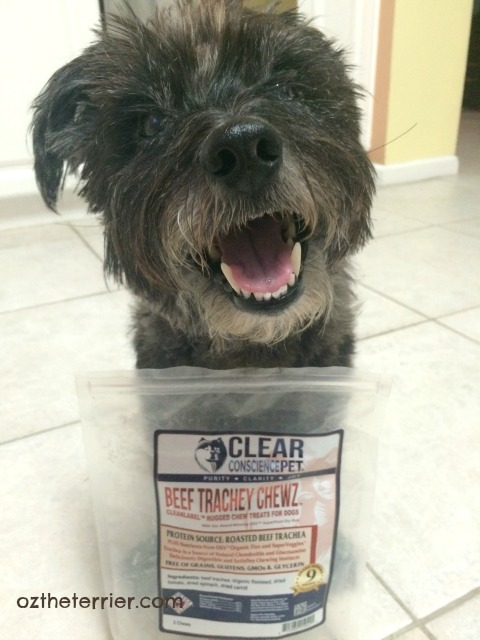 A happy Oz the Terrier with his Clear Conscience Pet Beef Trachey Chewz
