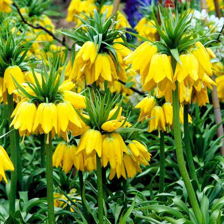 trees planet fritillaria imperialis crown imperial. Black Bedroom Furniture Sets. Home Design Ideas