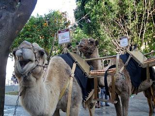 Camellos en la Plaza de la Encarnación - Sevilla