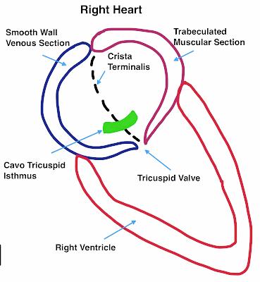 Anatomy of the Right Atrium - Atrial Flutter Explained