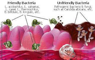 Probiotic hiện diện thường trực trong đường ruột.