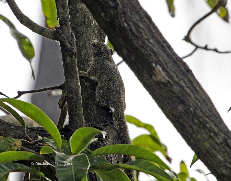 Gambian Sun Squirrel (Heliosciurus gambianus) in Gambia