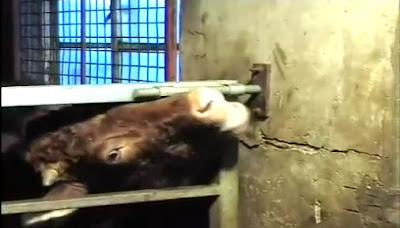 Lembu buka pagar dengan lidah