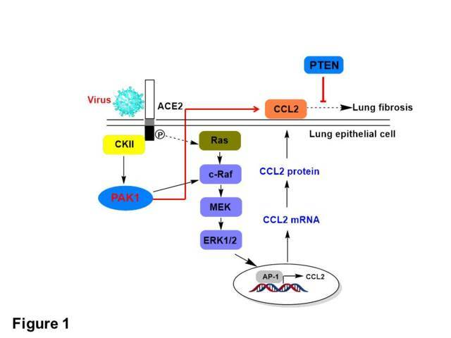 Fig. 1. PTEN, PAK1-inactvating phosphatase, suppresses COVID-19 induced fibrosis.