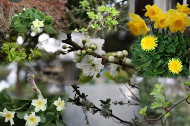 Primroses & Hawthorn