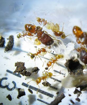 The minor and major workers of Pheidole ant tending to the brood.