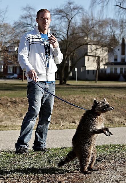 Pet Raccoon Dog For Sale Uk