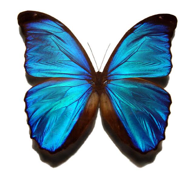 Blue morpho butterfly tattoo - photo#13