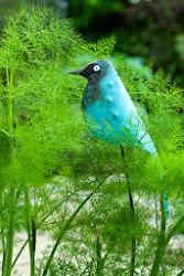 Perching Bluebird £50