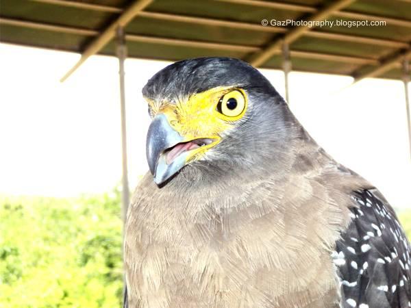 Eagle Captured at Bundala National park- Hambantota