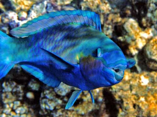 Best jungle life parrot fish pics galery parrot fish pics for Pictures of parrot fish