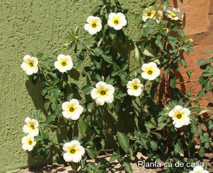 , que se abrem no período da manhã Elas florescem o ano todo