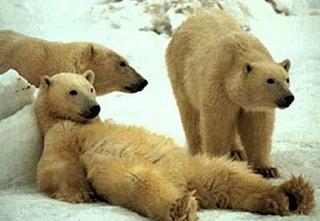 funny photo of white polar bears