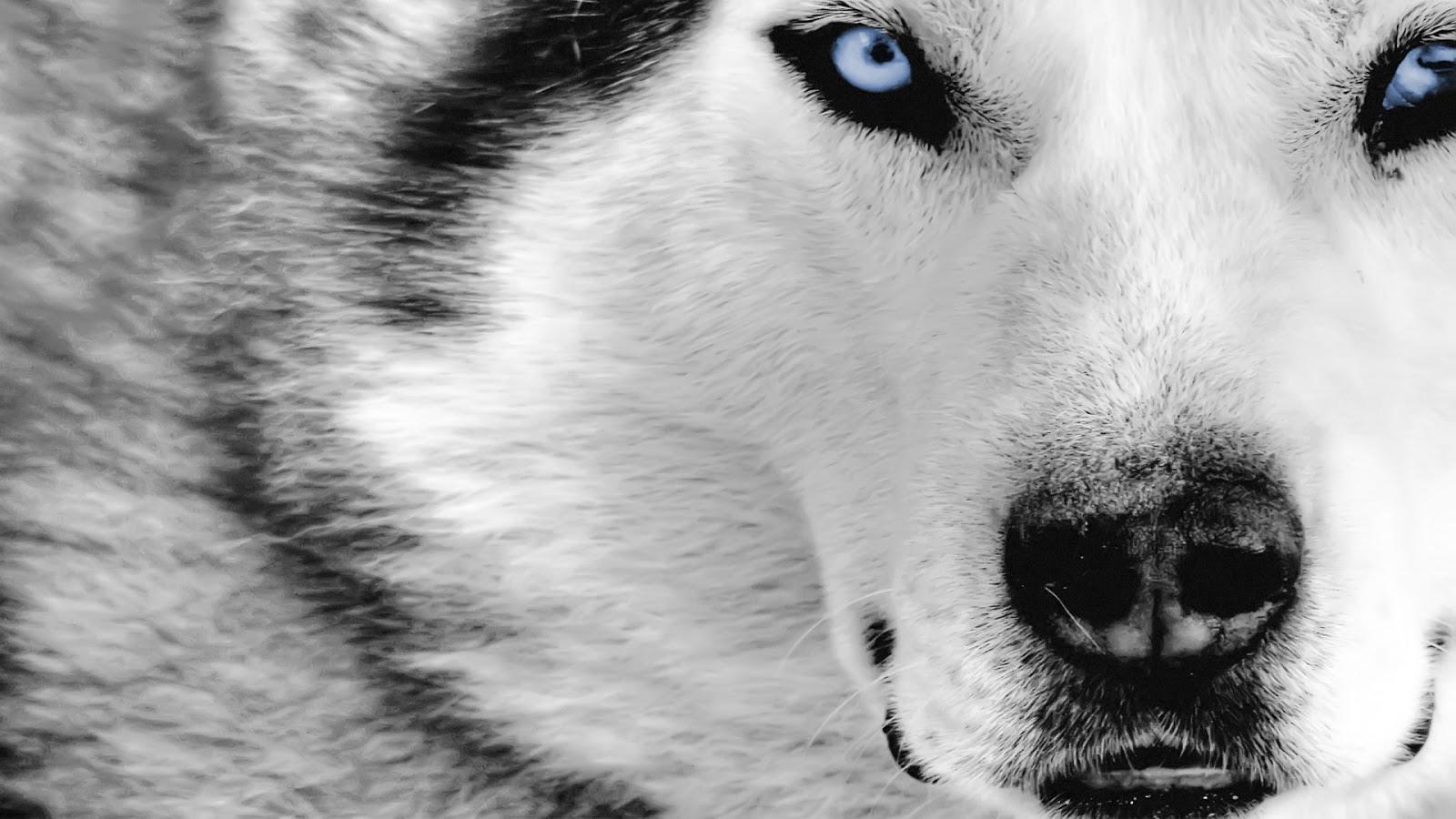 wolf 1080p hd wallpaper latest hd wallpapers