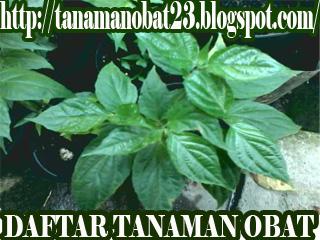 Dandang Gendis  (Clinacanthus nutans Lindau)