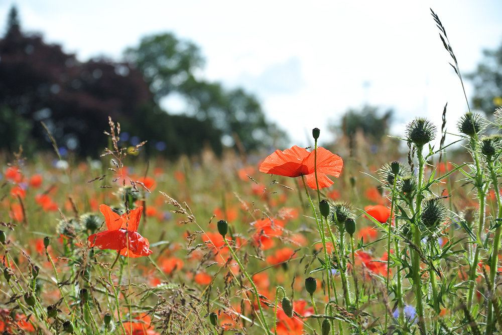 Field of Poppies - 34 Small Things That Make Me Happy