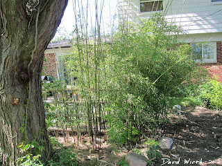 how to grow bamboo in cold climates, growing, michigan, winter, snow