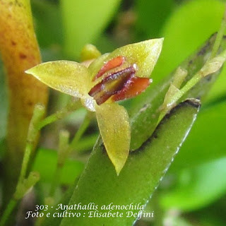 Anathallis adenochila do blogdabeteorquideas