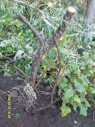 Tyrnipensaat marjapensaat ovat omiaan myös meluvalleihin houkuttelemaan lintuja pihaanne