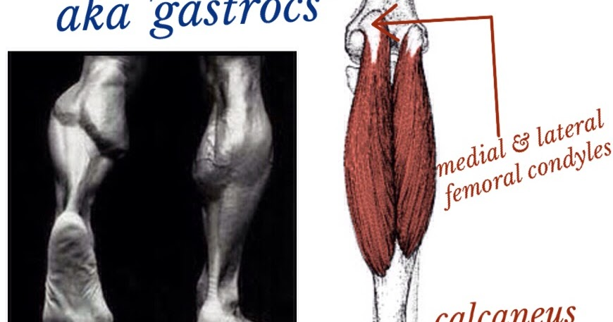 The Hip Joint: Gastrocnemius - lower leg muscle