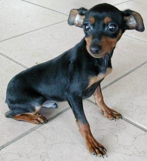 Associazione italiana difesa animali ed ambiente roma for Pincher cucciolo