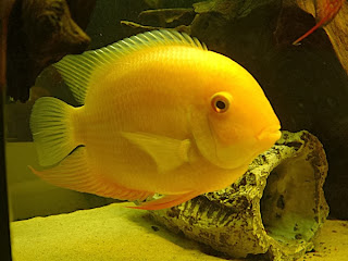 severum fish types