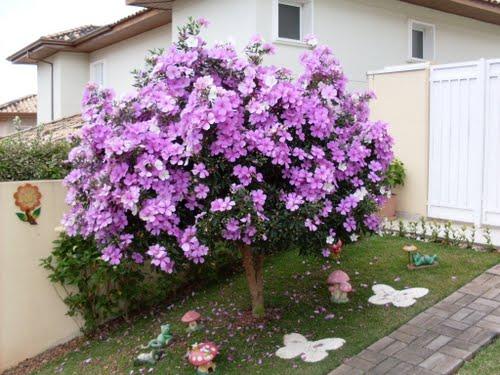 manaca de jardim em vaso : manaca de jardim em vaso:Dream Garden Brasil: Manacá da Serra – Sementes