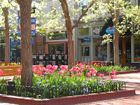 Spring tulips on the Pearl Street Mall in Boulder, Colorado