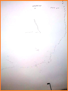 Large amount of Canada geese in the sky: 2 V-like segments, and a massive, chaotic curved line.