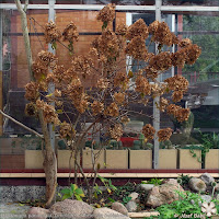 Hydrangea paniculata 'Limelight' - Hortensja bukietowa