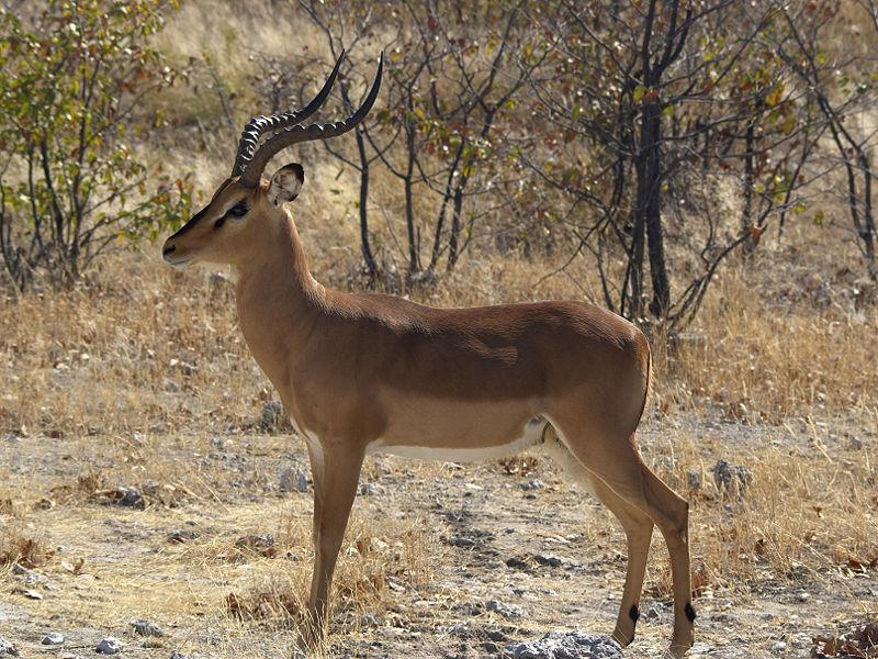 El ojo del buitre: Impala (Aepyceros melampus)