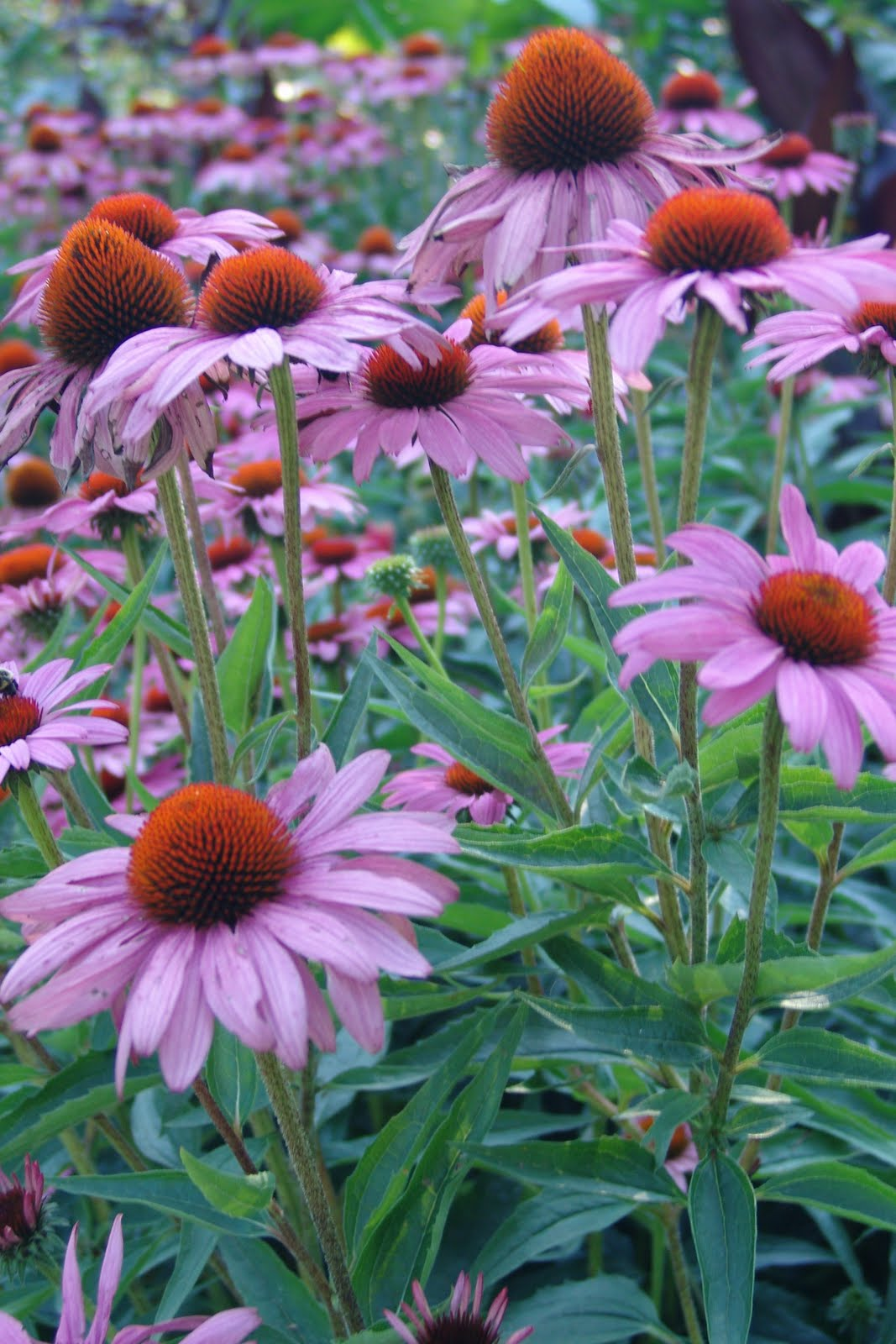 amyluvstrees foliage friday purple coneflower. Black Bedroom Furniture Sets. Home Design Ideas