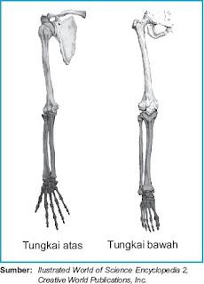 Tulang tungkai atas bawah