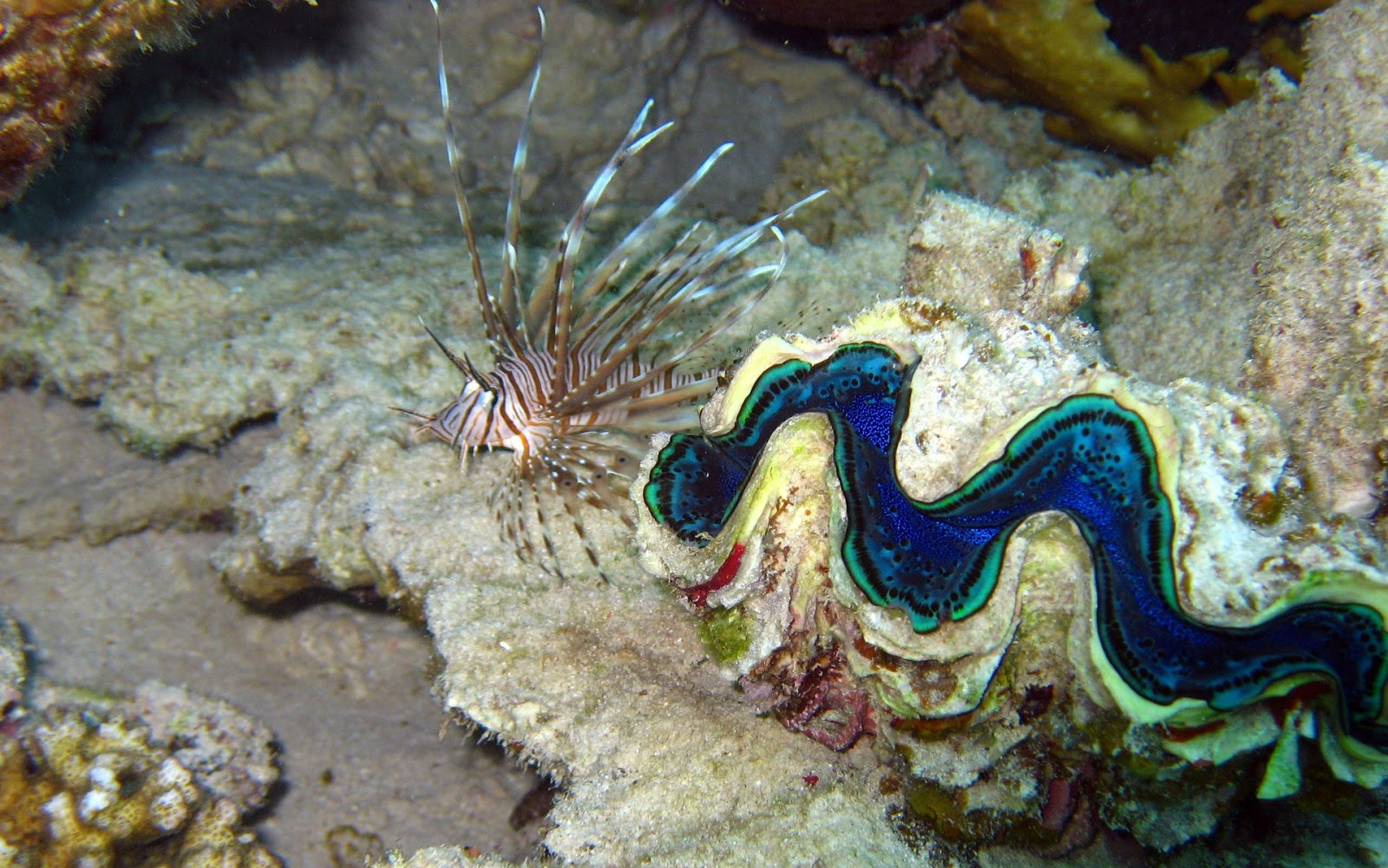 http://3.bp.blogspot.com/-z8HE37GNATk/UH1HmYCwIQI/AAAAAAAAEXw/HIyM4GVvE7A/s1600/lion-fish-and-clamshell-underwater-ocean-wallpaper-1920x1200-240.jpg