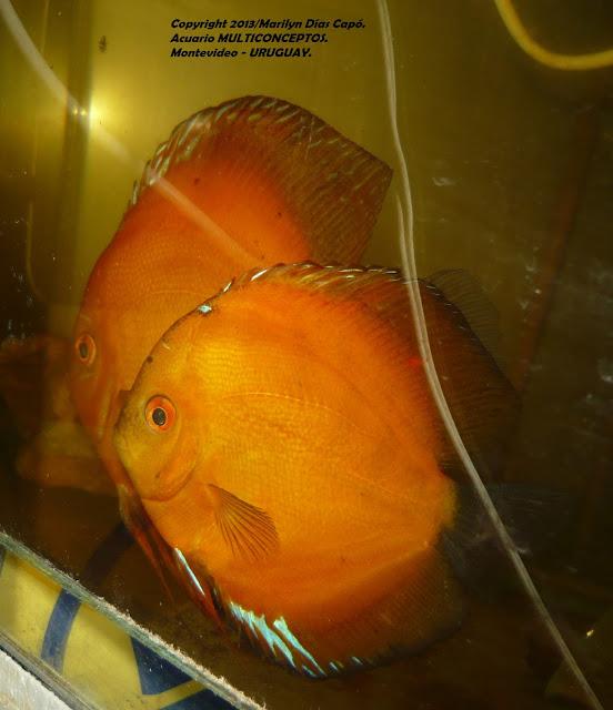 Peces tropicales de agua dulce 11 06 15 for Criadero de peces de colores