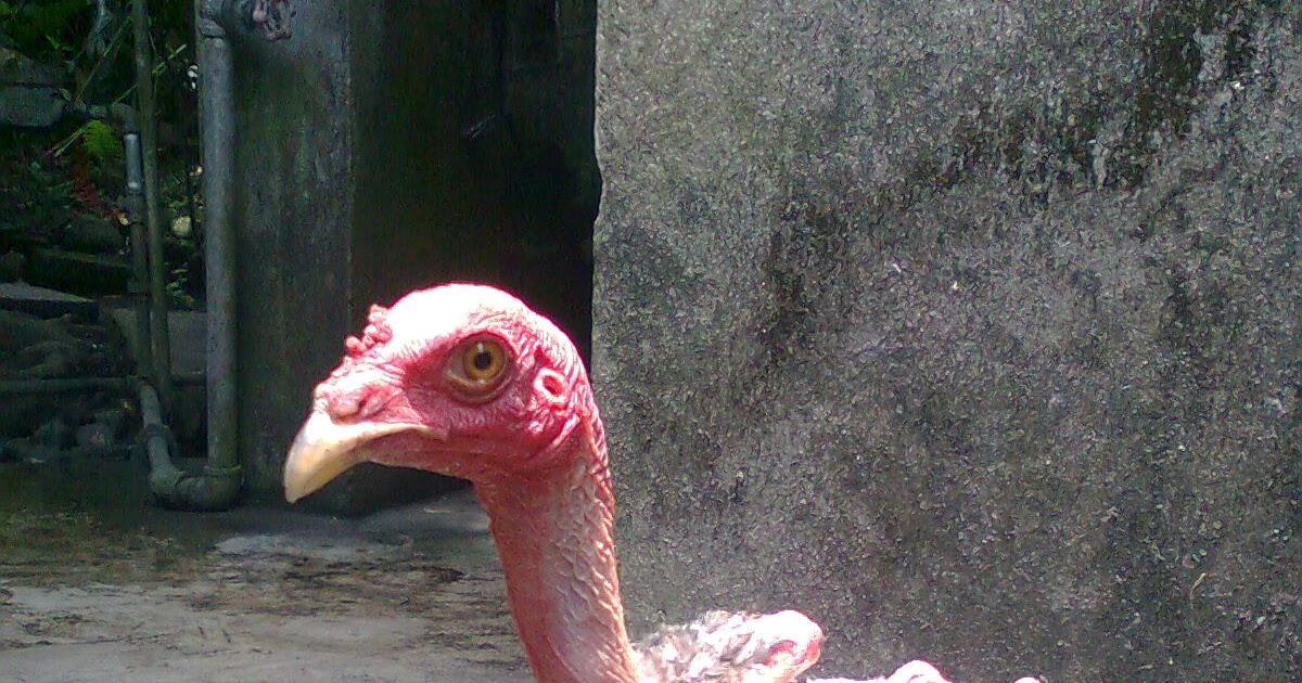 a taste of the philippines mutant featherless chicken in